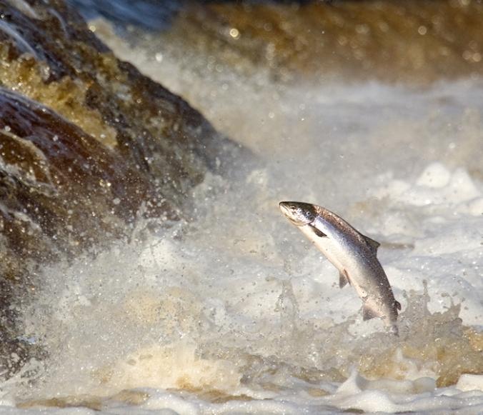 700 Salmon