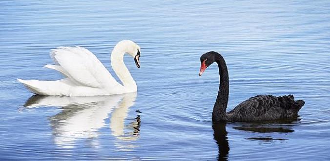 swans-alt-fw