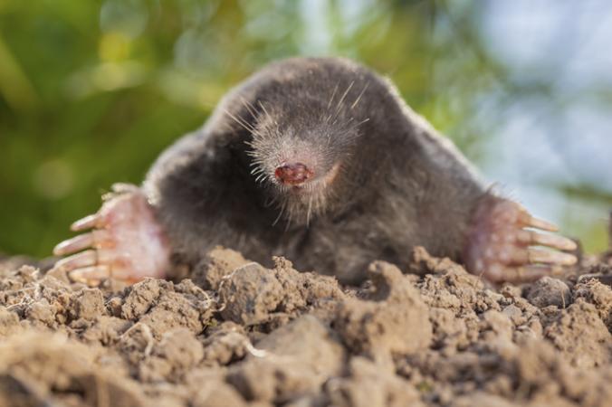 The Mole.fw